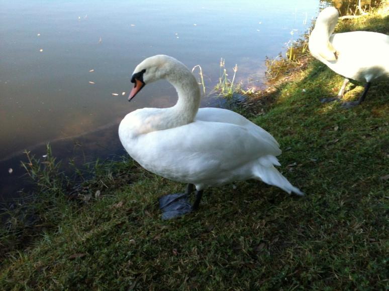 Swan in Lake Davis