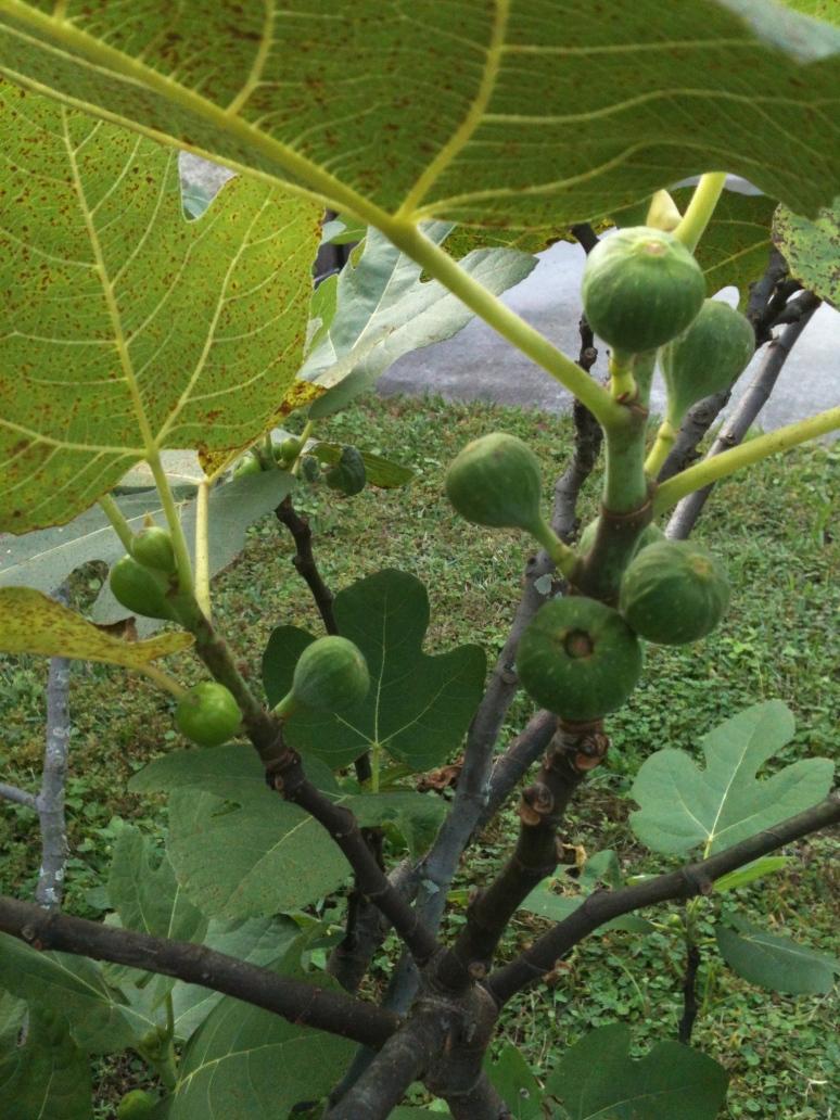 Figs in Orlando